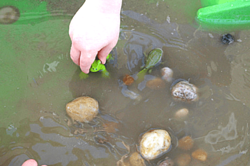 Hands-on science activity for learning about the frog life cycle