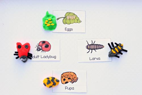 Ladybug Life Cycle with Play Dough – Ladybug Life Cycle Worksheet
