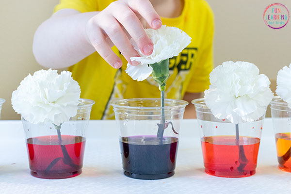 Dying flowers science activity for kids.