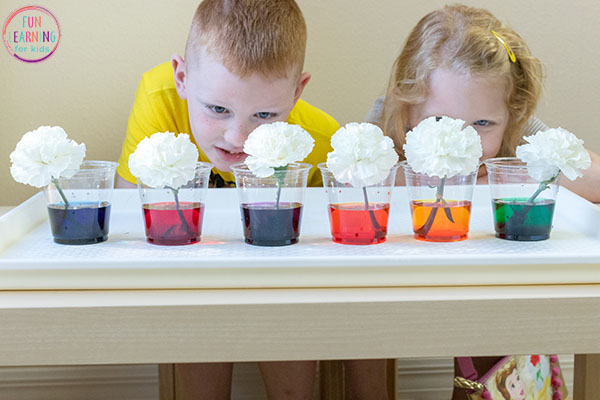 This color changing flowers activity is a fun spring science activity for kids!
